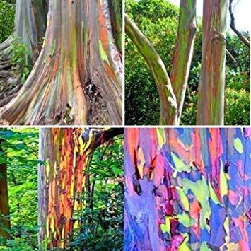 ANVIN Germinación de Las Semillas: 40Pcs eucalipto del Arco Iris Semillas Semillas Eucalyptus deglupta Jardín Decoración Semillas