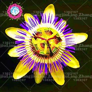 bonsai 100pcs Super Rare semi Passiflora pianta in vaso fiore raro Passiflora piante ornamentali per la casa giardino 6