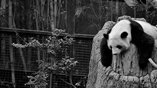 Puzzle 500 Piezas para Adultos Niños 500 Piezas Brain Challenge Puzzle De Madera Personaje De Niña De Fantasía Educativo para Niños Panda duerme en blanco y negro