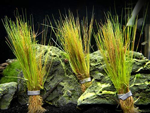 Aquatic Arts Dwarf Hairgrass