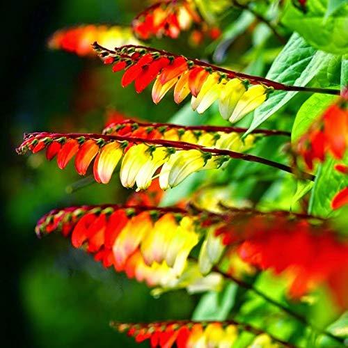 NIKA SEEDS - Flowers Firecracker Vine (Quamoclit) - 20 Seeds