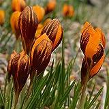 Aimado Seeds Garden - 20pcs Graines de Crocus ancyrensis Golden Bunch orange/Crocus chrysanthus Blue Pearl grainé fleur jardin plante vivace résistant dans vos pelouses/massifs/rocailles