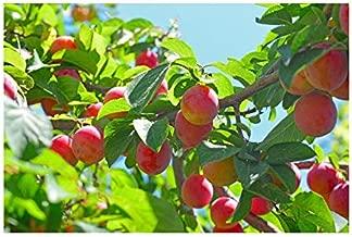 Cherry Plum Tree (2 Pack), Prunus cerasifera 'Myrobalan' Live Bare Root Plant