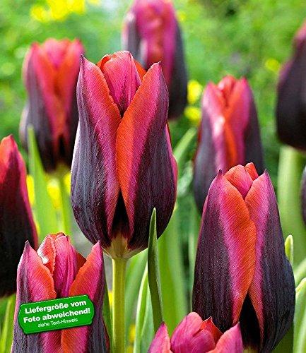 """BALDUR-Garten Tulpe \""""Slawa\"""" 10 Zwiebeln Tulipa"""