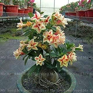 EaglesFord Desert Rose Adenium Live Indoor EaglesFord (1 Plant)