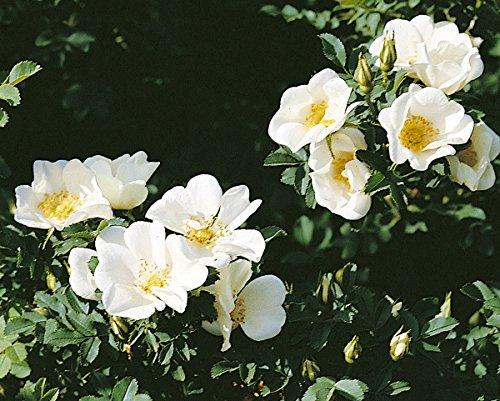 Rosa pimpinellifolia, Bibernellrose, Wildrose, Wurzelware