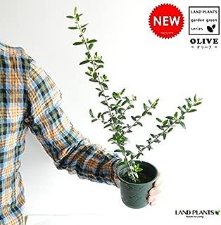 LAND PLANTS オリーブ苗 3.5号サイズ 鉢カバーセット