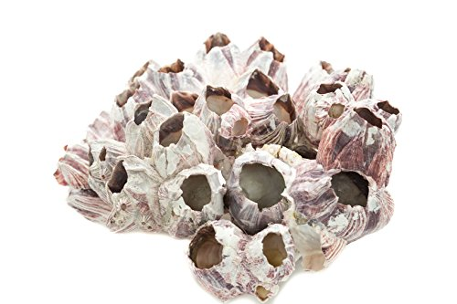 Real Purple Barnacle Cluster | 5