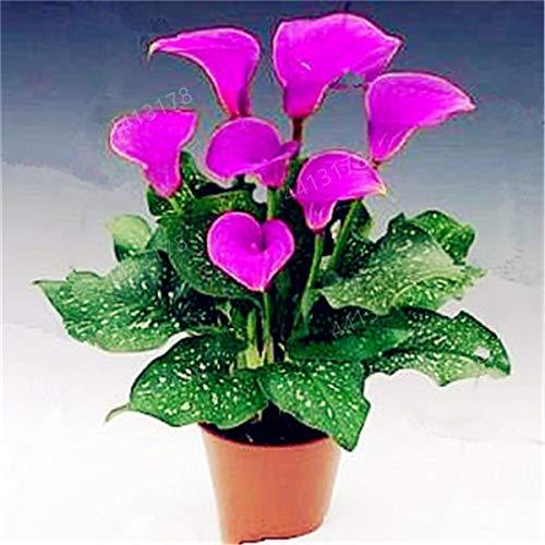 HONIC 100 PC-Calla-Lilien-Bonsai, seltene Pflanzen Blumen, Zimmerblumen Rhizome Zantedeschia aethiopica, Bonsai Zimmerpflanzen Hausgarten Pflanze: 3