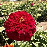 Fnho Semillas de macetas de Flores,Perenne Resistente Semillas,Flor de Hierba de Baian, siembra, Flores fáciles de vivir-1000Grain + Fertilizer_Red