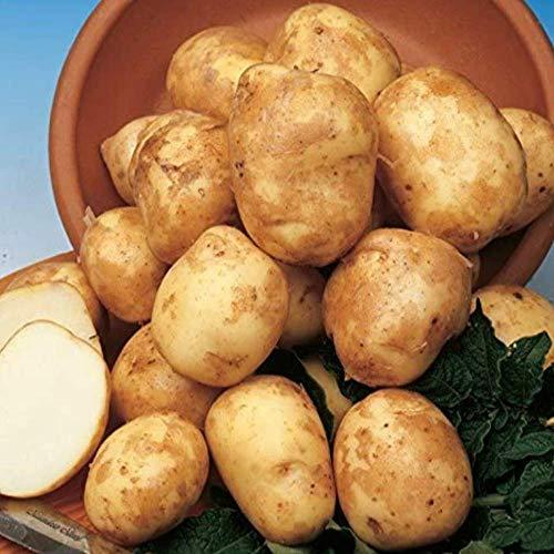 SummerRio Garten-50 Stück Selten Kartoffel Samen Bio Pflanzkartoffel Spezialität Süßkartoffel Gemüse Samen Mehrjährig Winterhart Für Garten Balkon Terrasse