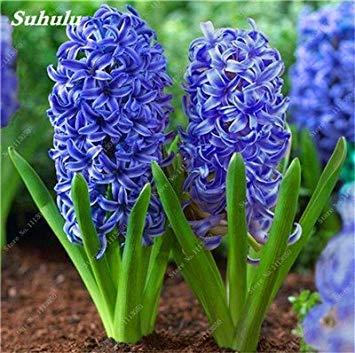 Livraison gratuite Parfum Pas Cher Graines jacinthe, plantes en pot purifient l'air, PC de bureau Décor-100 Pcs Hyacinthus Orientalis Seed 2