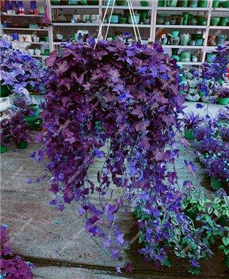 Coloré Hanging Parthenocissus tricuspidata semences vivaces herbes de fleurs Pot plantes anti-radiations des rayons ultraviolets 50 Pcs 7