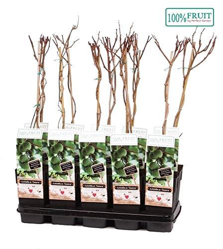 Mini Kiwi (Actinidia arguta), Sorte: Geneva, kräftige winterharte Pflanze, (1 männliche Pflanze)