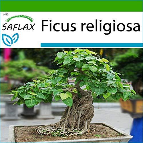 SAFLAX - Higuera sagrada - 100 semillas - Con sustrato estéril para cultivo - Ficus religiosa