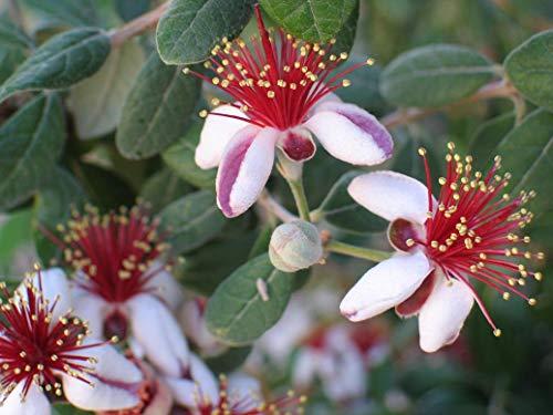 SANHOC Samen-Paket: ACCA sellowiana - Feijoa, Pin Guava in 9cm PotSEED