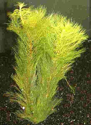 Mühlan - 7 Bund/Portionen Tausendblatt für den Gartenteich, Sauerstoffpflanzen für den Teich, winterharte Sorte