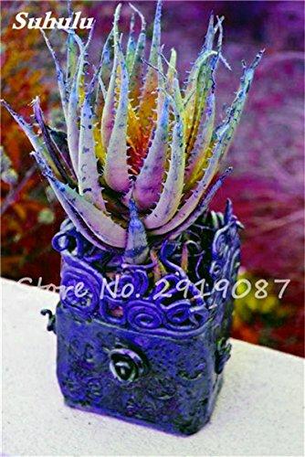 Nouveau! 20 Pcs coloré Cactus Rebutia Variété Mix Exotique Aloe Graine Cacti Bureau Rare Cactus comestibles Beauté Succulent Bonsai Plante 3