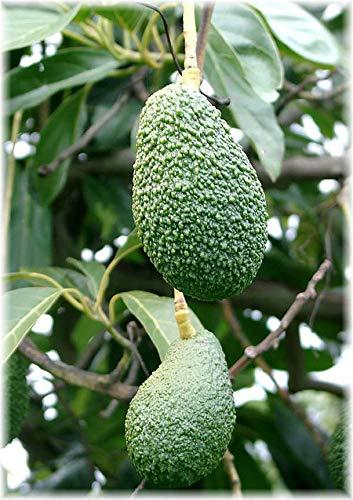 Yukio Samenhaus - Selten Obstsamen unterschiedliche Sorten aus Asien/Afrika usw. Zuckermelone/Kirsche/Japanische Wollmispel/Navel-Orange/Litschi/Pflaume/Mango/Wassermelone usw