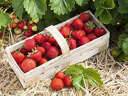 Erdbeerprofi - Erdbeer Anbau-Set S: 20 Erdbeerpflanzen Topf mit Erdbeer Langzeitdünger - 4 Erdbeersorten junitragend: Daroyal, Korona, Sonatat & Malwina