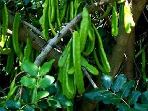 GETSO Samen-Paket: Carob Seed - Johannisbrotbaum - 26 Samen Frescas