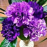 100pcs紫色のカーネーションCaryophyllus花の種子家の庭の装飾ワンダフルガーデニングギフト