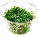 Dwarf Hairgrass Eleocharis Sp Mini Tissue Culture Cup Freshwater Live Aquarium Plants Decoration...