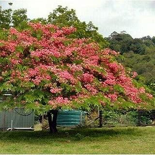 100+ Apple Blossom Cassia Tree Seeds (Cassia javanica) - Flower Garden Spring Summer Rare Tree Seeds (25-100 Seeds)