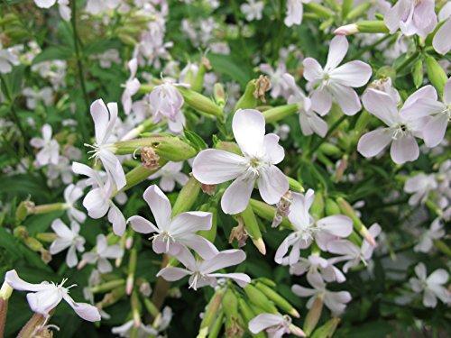 Seifenkraut Saponaria officinalis 300 Samen