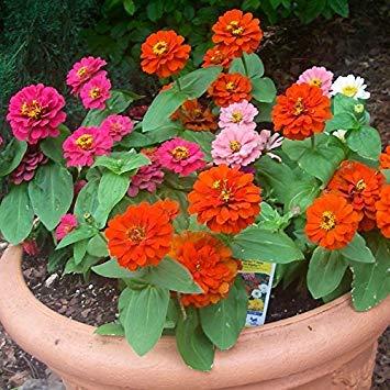 BloomGreen Co. Graines de fleurs: Zinnia Elegance Dahlia Flowered Mix Accueil Graines de plantes pour les sacs de culture/Pots (13) Packets Jardin Graines de plantes