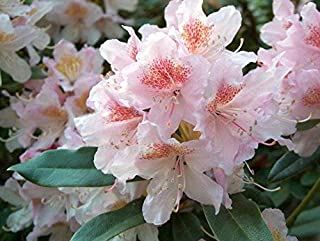 Rhododendron Cunningham's Blush - Large Five Gallon Plant - Flowering Shrub