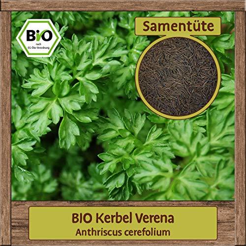 Samenliebe BIO Kräuter Samen Kerbel Verena (Anthriscus cerefolium) | BIO Kerbelsamen Kräutersamen | Samenfestes BIO Saatgut für 2,5m²
