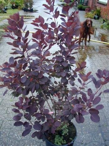 roter Perückenstrauch Cotinus coggygria Royal Purple 40 - 60 cm hoch im 3 Liter Pflanzcontainer