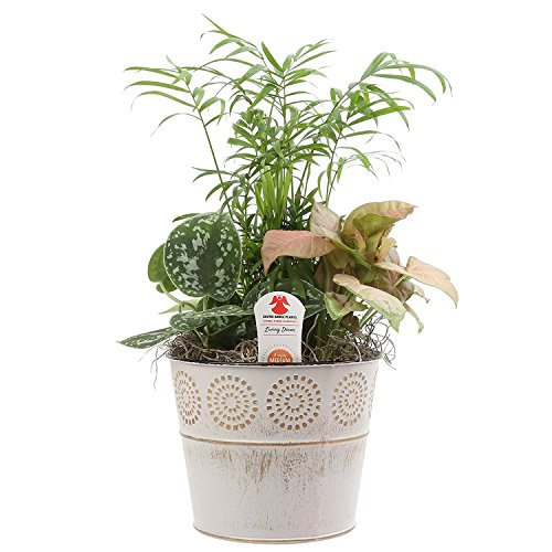 Costa Farms Exotic Angel Live Indoor Plant Dishgarden in 6-Inch White Gift-Ready...