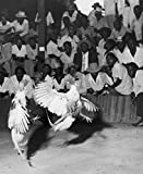 Large Group of People Watching Cock Fighting Haiti Poster