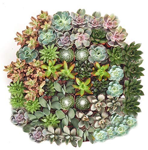 Shop Succulents | Assorted Collection of Live Succulent Plants, Hand Selected Variety Pack of Succulents | Collection of 140 in 2