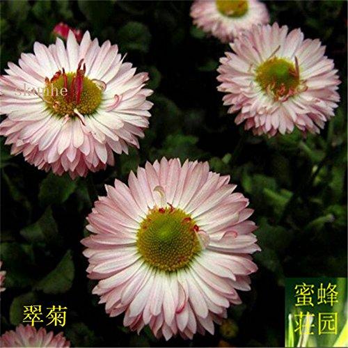 Aster graines de graines de fleurs de vanille Variété de la cire turquoise Jiangxi graines chrysanthème environ 100 graines 7