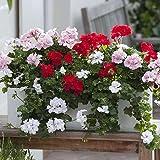 100 semillas de geranio mixtas de flores coloridas son la mejor opción para decoración de jardín, fácil plantación, crecimiento rápido, adecuado para principiantes