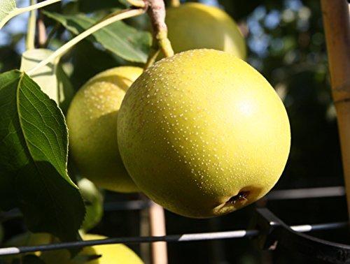 Birnenbaum, Nashi-Birne Nijisseiki, Pyrus Pyrifolia, Obstbaum winterhart, alte Sorte gelb , im Topf, 120 - 150