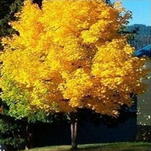 10pcs / paquet arbre d'érable jaune semences en direct des graines d'arbres d'or d'érable SeedsAndPlants Jardin Norvège bon prix bonsaï va bientôt