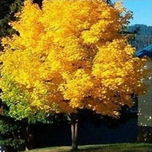 10pcs / pack gelben Ahornbaum Live-Samen Hausgarten Norwegen Ahorn Gold Baumsamen gut Bonsai Preis wird bis bald