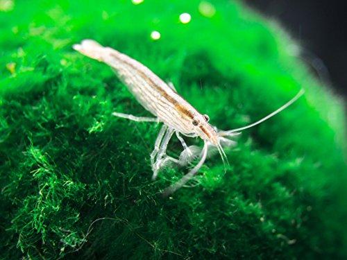 Aquatic Arts 1 Small Freshwater Bamboo Shrimp (Live Singapore Flower Shrimp) | Aquarium Filter Shrimp | Safe with Tetra / Guppy / Betta Fish Tank