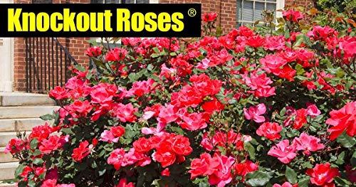 Petsdelite® Knock Out Rose Busch, 3,8 l Topf Für einen zusätzlichen Schlag in Ihrem Garten
