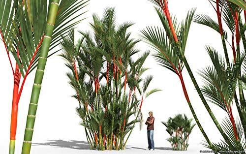 20 Samen Lippenstift Lippenstift Palm Cyrtostachys Renda Baum, rot Siegellack Palm