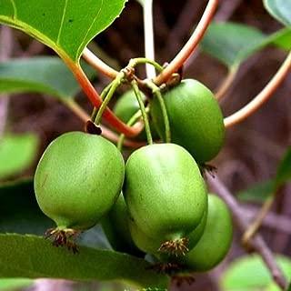 Issai Kiwi Vine - Hardy - Self Fruitful - Easy to Grow - 2.5