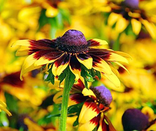 Bobby-Seeds Rudbeckiasamen Sonnenhut Autumn Forest Portion