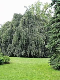 50 Silver Weeping Birch Tree White European Betula Pendula Alba Seeds