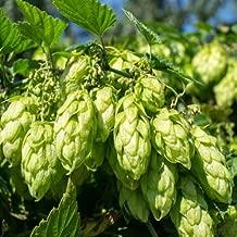 Outsidepride Hops Plant Seed - 200 Seeds