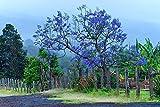 Jacaranda Tree Maui Hawaii Picture, Country Decor Print, Rustic Nature Wall Art