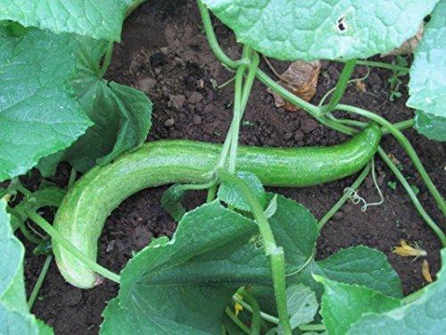 Yamato Sanjaku Cucumber Seeds (25 Seed Package)